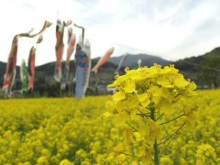 150503_1312_中野市穴田の菜の花畑(中野市)