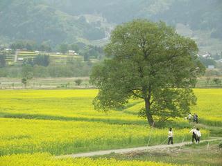 150503_1413_飯山市常盤の菜の花畑(飯山市)