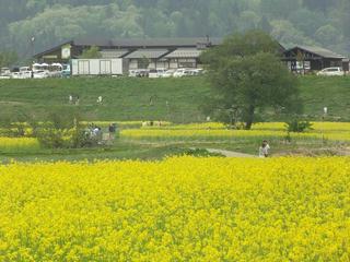 150503_1402_飯山市常盤の菜の花畑(飯山市)