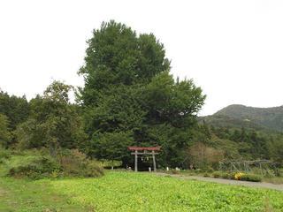 151011_1358_神戸の大イチョウ(飯山市)