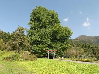 151018_1234_神戸の大イチョウ(飯山市)