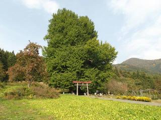151024_1436_神戸の大イチョウ(飯山市)