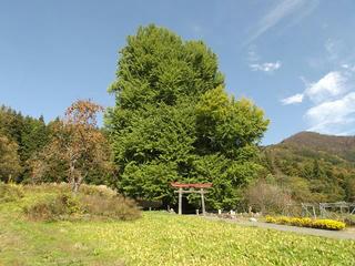 151101_1326_神戸の大イチョウ(飯山市)