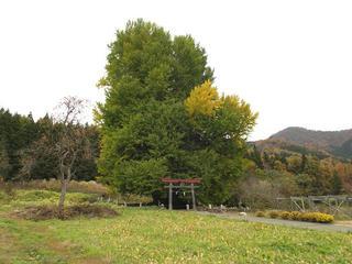 151108_1306_神戸の大イチョウ(飯山市)