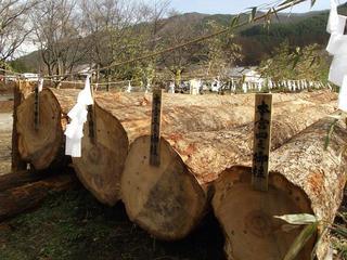 151121_1210_かやぶきの館に勢揃いした諏訪大社御柱祭に使われる上社御用材(辰野町)