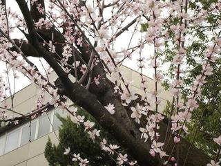 160320_1206_長野市立図書館に咲く魯桃桜(長野市)