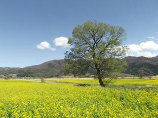 160417_1249_飯山市常盤の菜の花畑(飯山市)