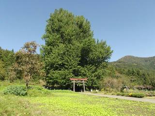 161016_1314_神戸の大イチョウ(飯山市)