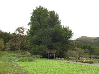 161023_1301_神戸の大イチョウ(飯山市)