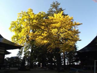 161105_0831_佛法招隆寺のイチョウ(諏訪市)