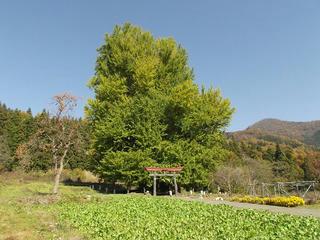 161113_1232_神戸の大イチョウ(飯山市)