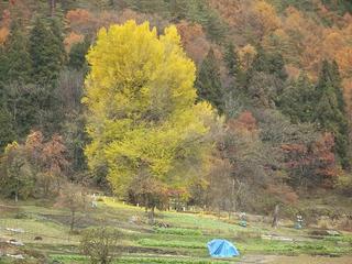 161123_1144_神戸の大イチョウ(飯山市)