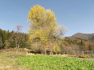 161126_1341_神戸の大イチョウ(飯山市)