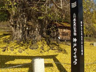 161126_1344_1_神戸の大イチョウ(飯山市)