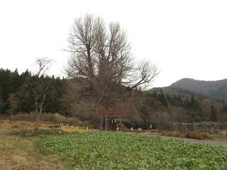 161204_1320_神戸の大イチョウ(飯山市)