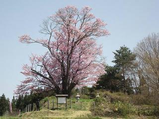 170430_1022_地蔵久保のオオヤマザクラ(飯綱町)