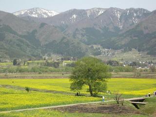 170430_1301_飯山市常盤の菜の花(飯山市)
