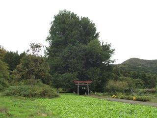 171015_1407_神戸の大イチョウ(飯山市)