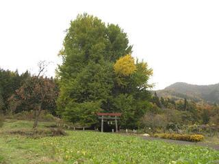 171112_1231_神戸の大イチョウ(飯山市)