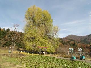 171126_1308_神戸の大イチョウ(飯山市)