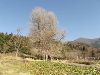 171203_1245_神戸の大イチョウ(飯山市)