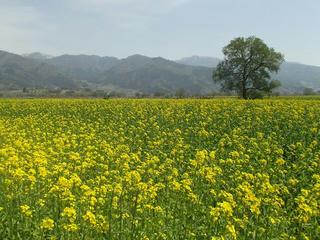 180422_1148_飯山市常盤の千曲川河川敷に咲く菜の花(飯山市)