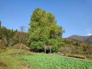181111_1313_神戸の大イチョウ(飯山市)