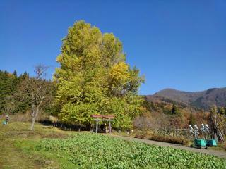 181125_1237_神戸の大イチョウ(飯山市)