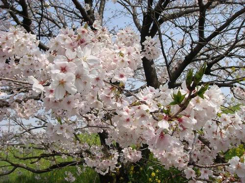 20100406katsura1.jpg