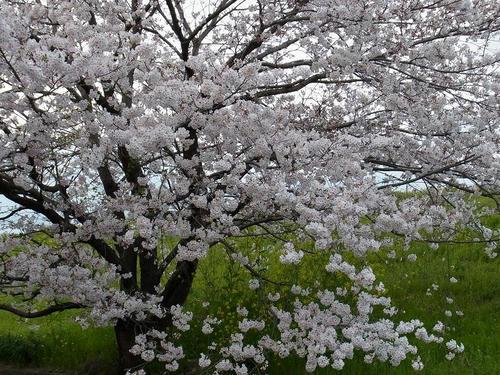 20110411sakura.jpg