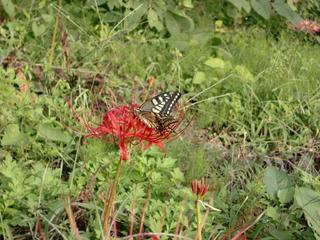 彼岸花と蝶2