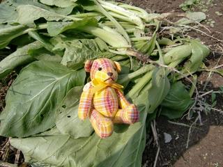 収穫した小松菜