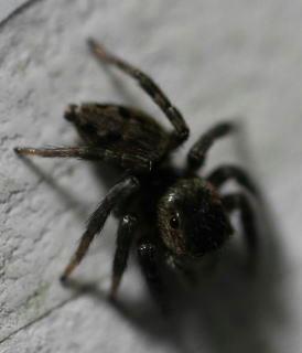 この蜘蛛7mmです!