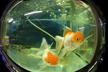 金魚部・水族館
