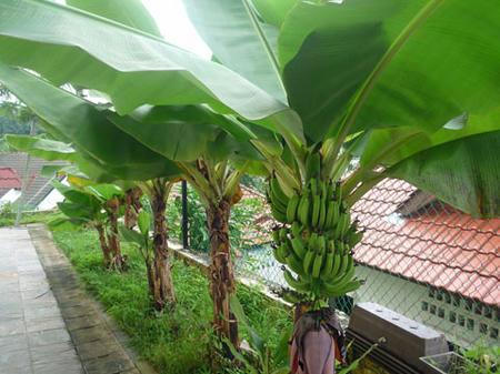 10.11.11バナナの木