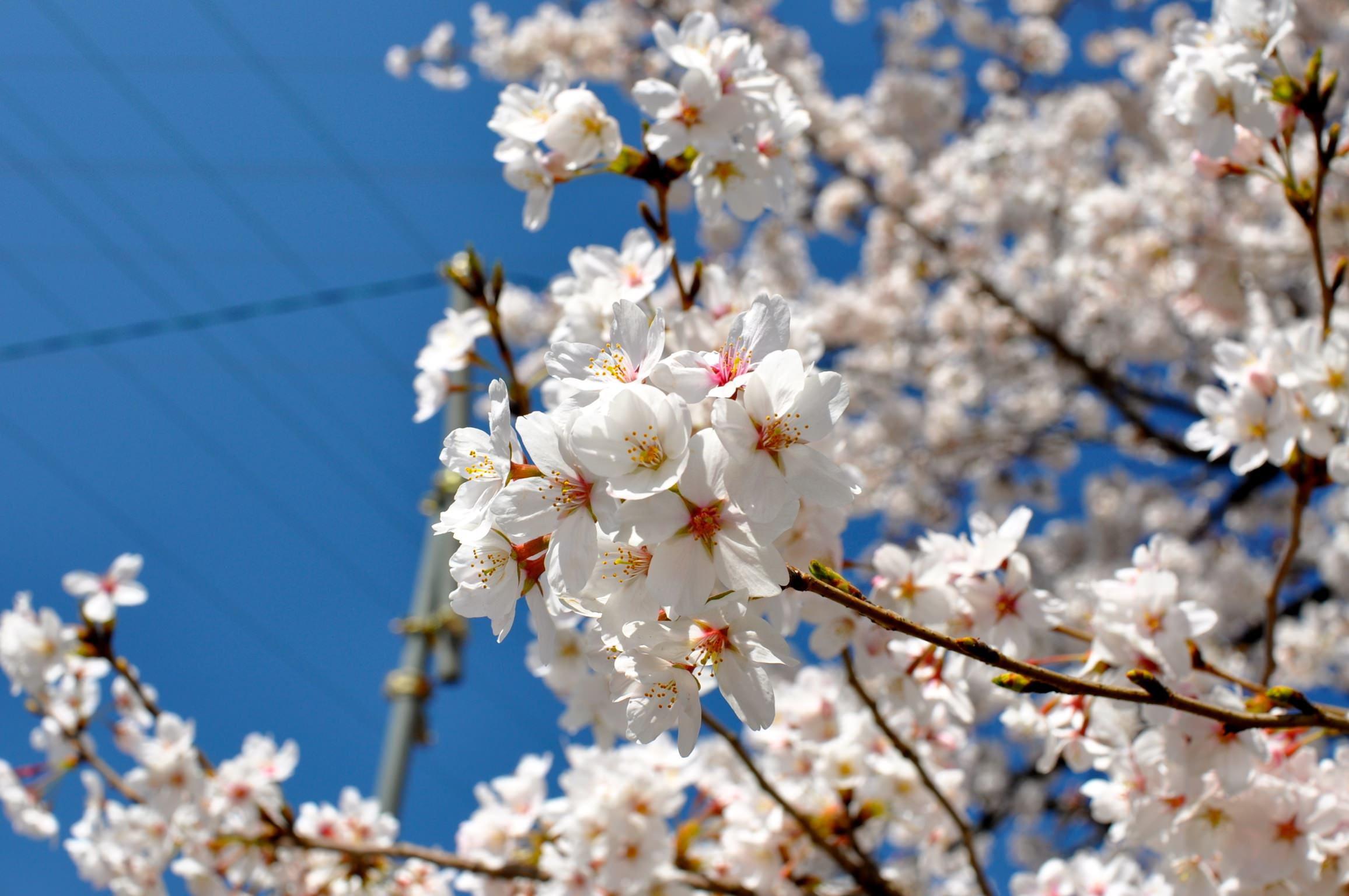 サクラ(神田川)|garas garas Home サクラ 日常 忍者ブログ [PR] [PR]