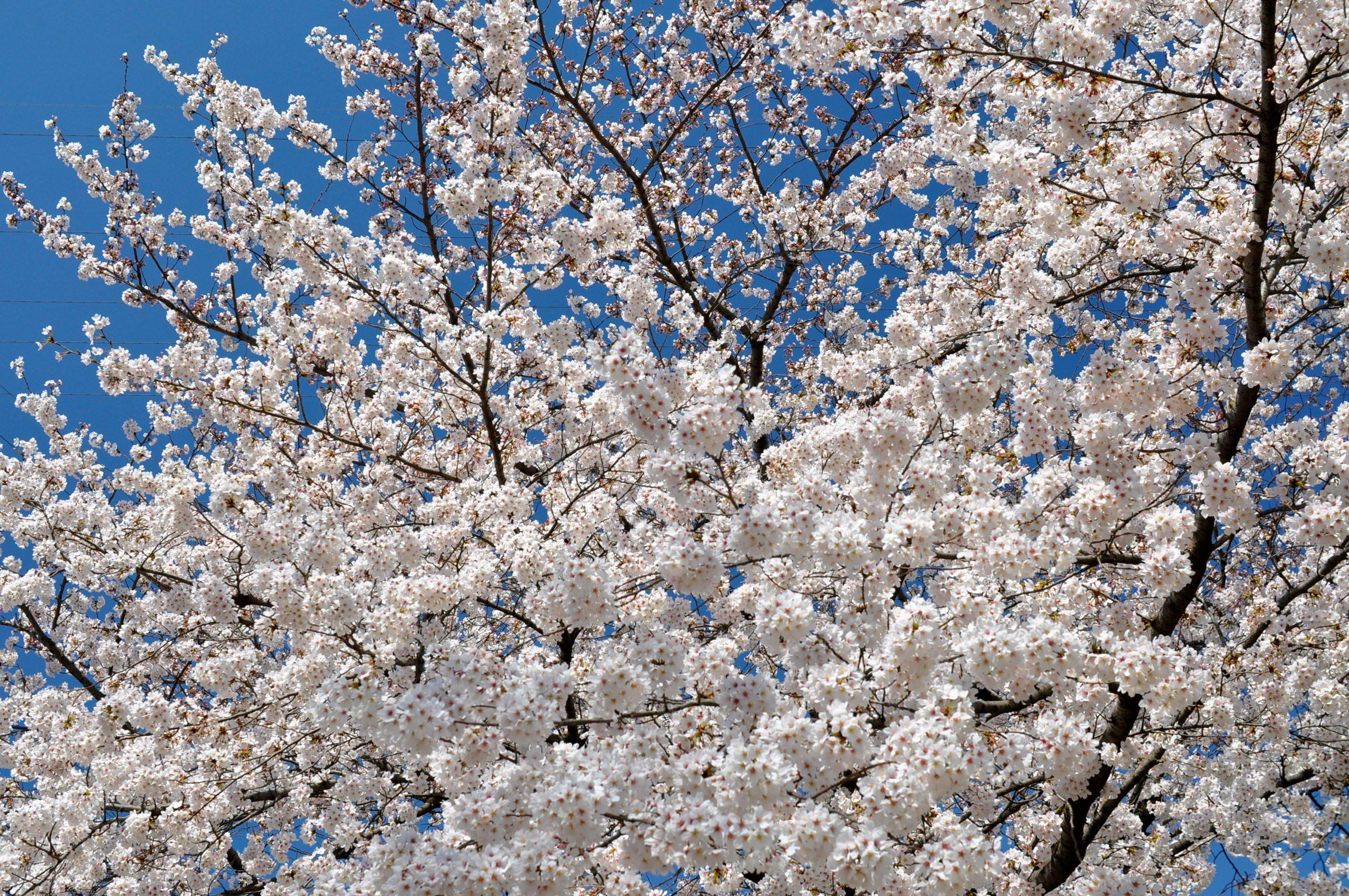 神田川沿いのサクラ天気が良かった。 PR サクラ(神田川)|garas