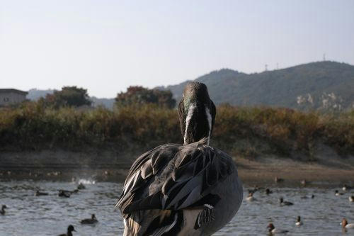 阿武隈川、鴨写真