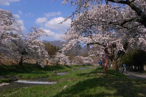 川桁 桜並木 猪苗代町