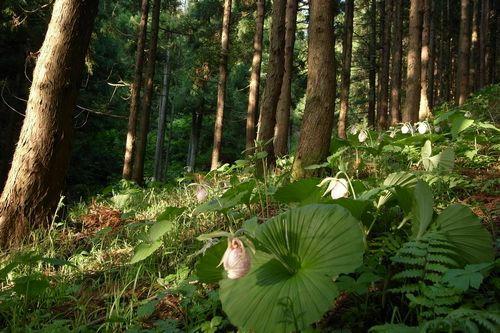 福島県 クマガイソウの群生地
