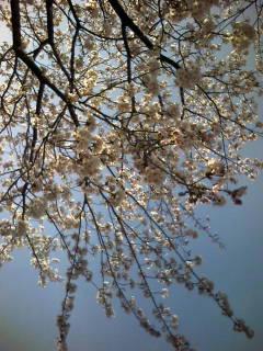 見上げる桜