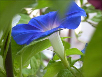 変化朝顔。松島並葉青時雨絞丸咲。