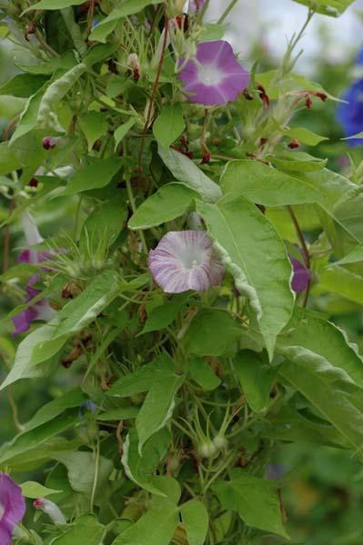 黄縮緬雨龍葉鼠地紅紫(青)刷毛目絞風鈴獅子咲牡丹。