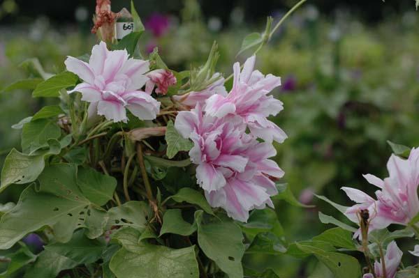 青海松葉淡桃覆輪采咲牡丹。