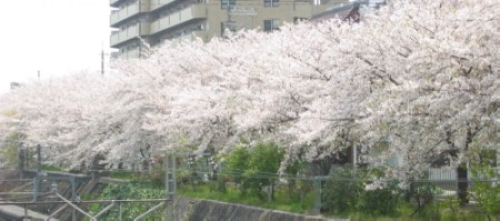 開花が早まる桜
