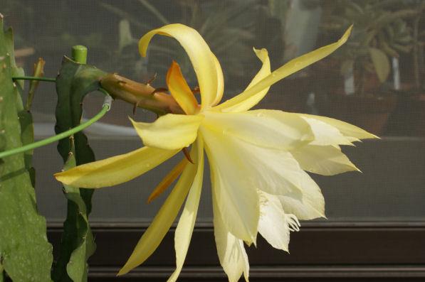 サボテンの花「新山吹」