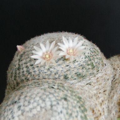 雪絹丸(分頭)の花