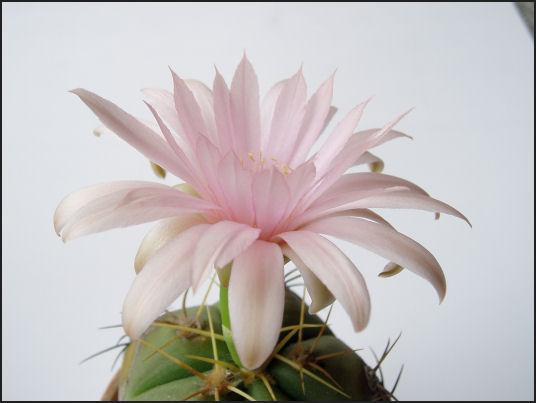 聖王丸(ペンタカンサ)の花