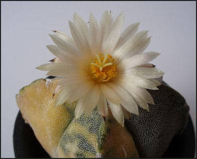 四角鸞鳳玉(黄斑入り)