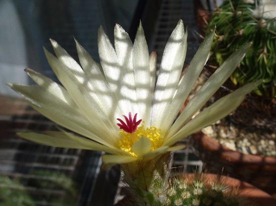 ノトカクタス属 金小町の花